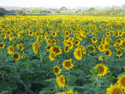 015,-sunflowers-near-swelle