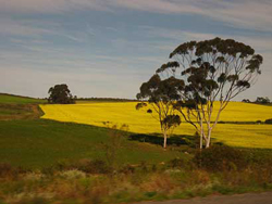016,-canola-field-&-bluegum