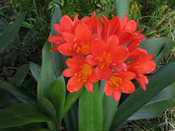 18,-clivia-in-bloom