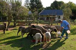 House and Garden david-feeding-the-sheep