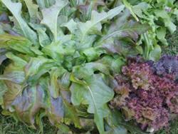 Fresh home-grown salad